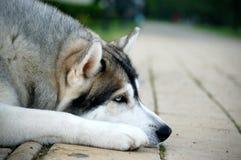 Sommeil 2 de chien de traîneau sibérien Images libres de droits