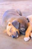Sommeil adorable de chiots Photo libre de droits