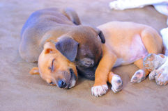 Sommeil adorable de chiots Photos stock