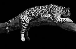 Sommeil africain de léopard Photos stock