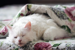 Sommeil blanc de chat Photo stock