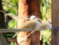 Sommeil blanc de colombes Photographie stock