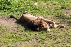 Sommeil blanc de lion Photos libres de droits