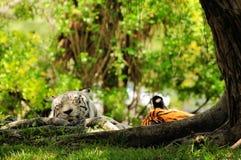 Sommeil blanc et orange de tigres images libres de droits