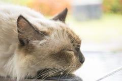 Sommeil blanc mignon de chat Photographie stock libre de droits