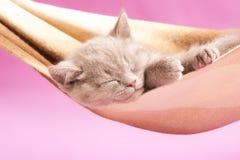 Sommeil britannique de chaton photo stock