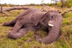 Sommeil d'éléphant Photographie stock libre de droits