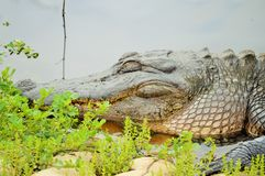 Sommeil d'alligator américain Photo stock