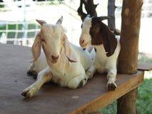 Sommeil d'amants de chèvre sur la berline Images libres de droits