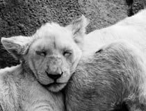Sommeil d'animaux de lion Photographie stock libre de droits