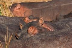 Sommeil d'hippopotame Photos stock