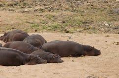 Sommeil d'hippopotames photos libres de droits