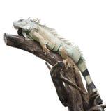 Sommeil d'iguane de désert sur le bois Photos stock