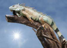 Sommeil d'iguane de désert sur le bois avec le soleil Photographie stock libre de droits