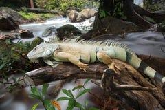 Sommeil d'iguane sur le bois Photographie stock