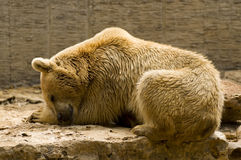 Sommeil d'ours Image stock