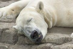 Sommeil d'ours blanc Photos stock
