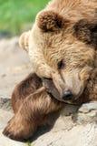 Sommeil d'ours de Brown Images stock