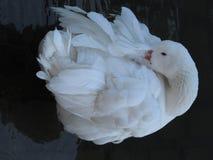 Sommeil de canard Images libres de droits