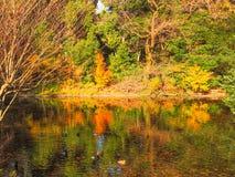 Sommeil de canards parmi des réflexions vibrantes d'étang Photos stock