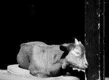 Sommeil de chèvre Photos stock