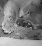 sommeil de chat Photos libres de droits