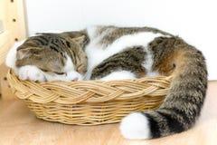 Sommeil de chat de pli d'écossais Photographie stock