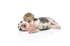 Sommeil de chaton et de chiot sur le fond blanc Image libre de droits
