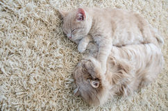 sommeil de chats Photo stock