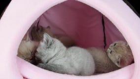 Sommeil de chats dans une tente d'animal familier banque de vidéos