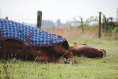 Sommeil de cheval Photos libres de droits