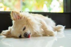 Sommeil de chien de chiwawa images stock