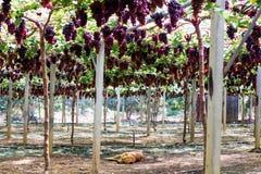 Sommeil de chien dans le vignoble ou le jardin du raisin année de chien employant pour le fond et ajouter le texte par années 201 image stock