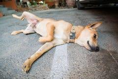 Sommeil de chien de Brown sur le plancher Photo libre de droits