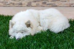 Sommeil de chien de race de Samoyed Image stock