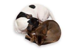 Sommeil de chien et de chat sur le fond blanc Photographie stock