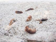 Sommeil de chiens Image libre de droits