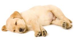 Sommeil de chiot de chien d'arrêt de Labrador Photographie stock