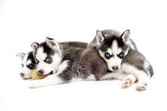 Sommeil de chiots ou de petits animaux de chien de traîneau sibérien Image libre de droits