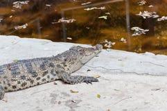 Sommeil de crocodile Photo libre de droits