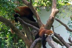 Sommeil de deux pandas rouges sur l'arbre Photo libre de droits