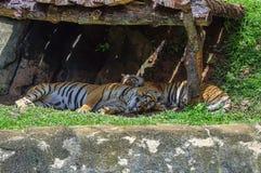 Sommeil de deux tigres Photographie stock