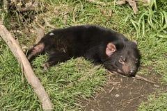 Sommeil de diable tasmanien Images libres de droits