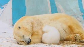 Sommeil de famille d'ours blanc dans un zoo en hiver Images libres de droits