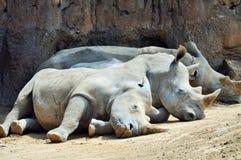 Sommeil de famille de rhinocéros Image stock