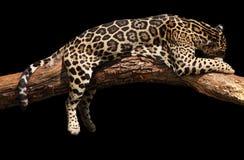 Sommeil de jaguar Photo libre de droits