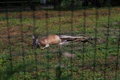 Sommeil de kangourou Images stock