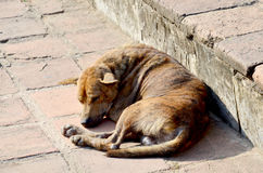 Sommeil de lèpre de peau de chien Photos libres de droits