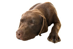 sommeil de Labrador Images libres de droits