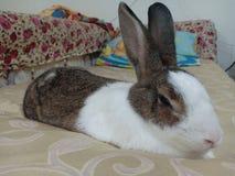Sommeil de lapin de lapin image libre de droits
